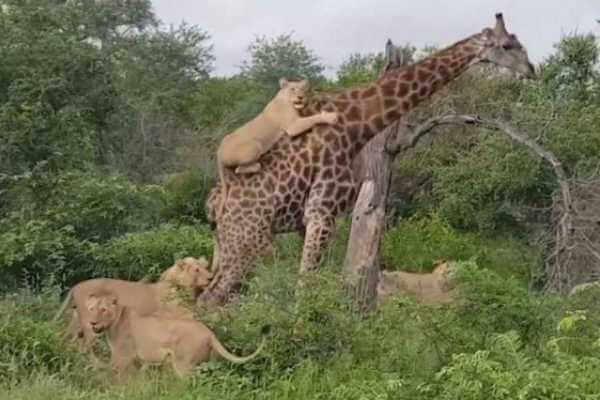 los leones cazan jirafas y elefantes