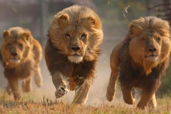 cómo se organizan los leones para cazar