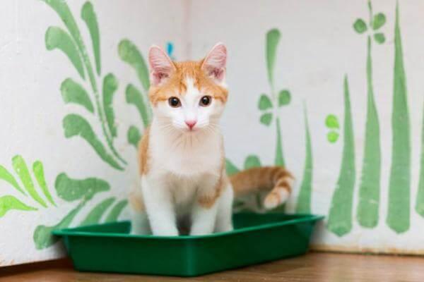trastornos urinarios gatos