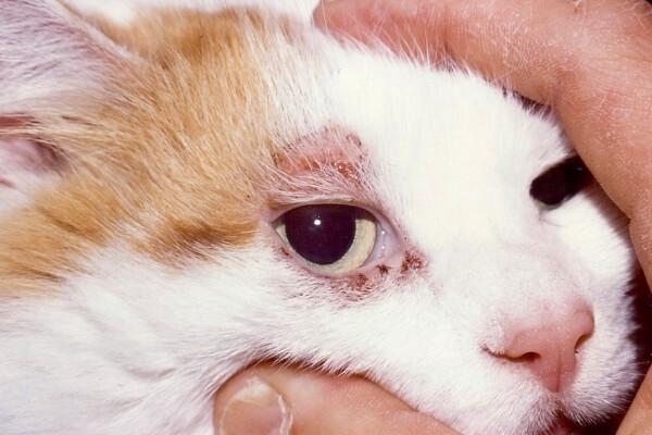 enfermedad pulgas gatos