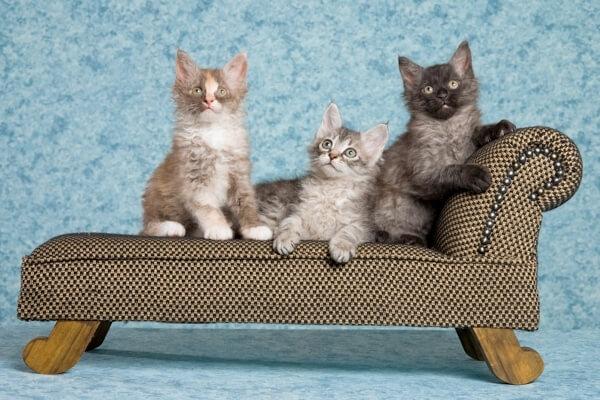 cómo ser criador de gatos de raza