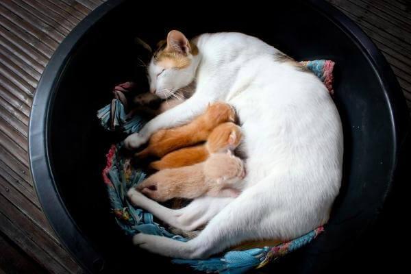 la mamá no amamanta a sus gatitos