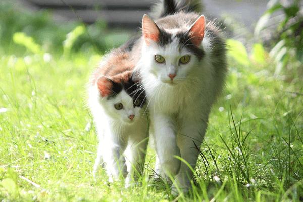 gato adulto o joven