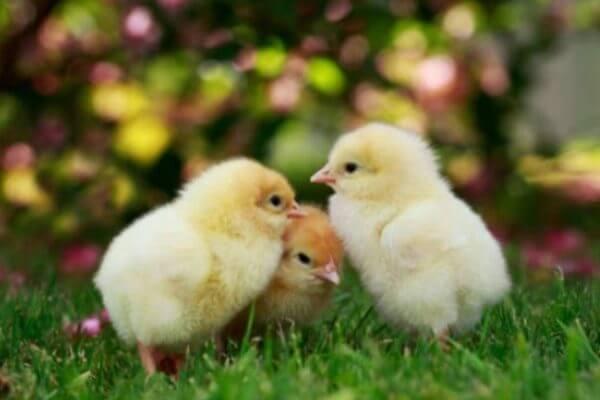 tamaño del pollo