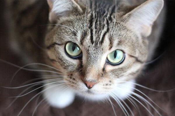 por qué es importante desparasitar a tu gato