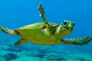 tipos de tortugas marinas