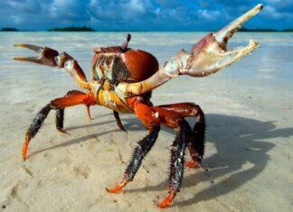 cómo son los cangrejos