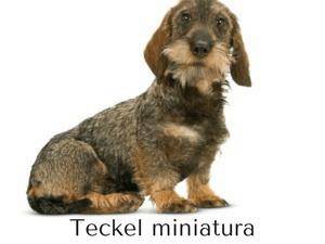 raza de perro teckel miniatura
