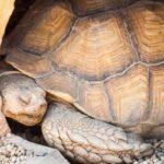 por qué hacen el letargo o hibernación la tortuga