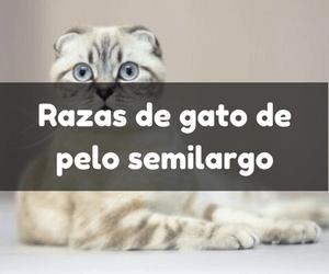 gatos de pelo semilargo