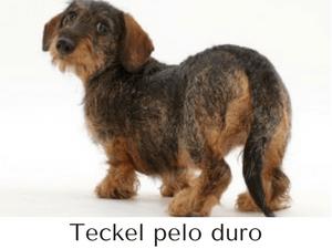 raza de perro Teckel de pelo corto