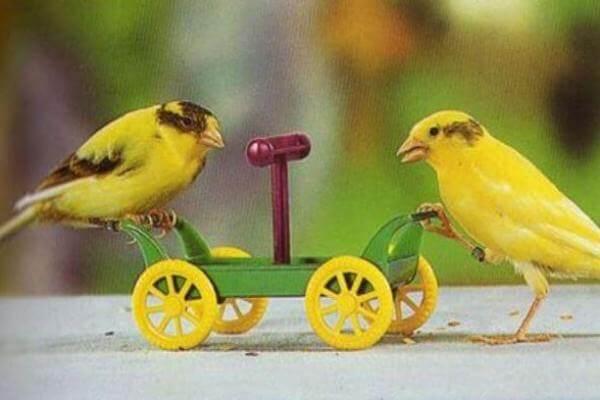 adiestramiento de canarios