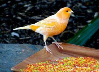 como se puede capturar un canario
