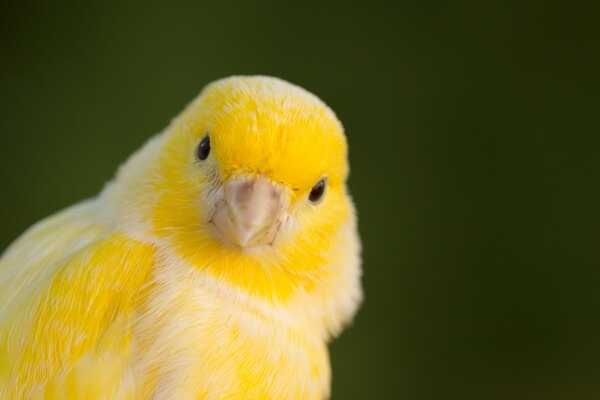 pájaro canario en vacaciones