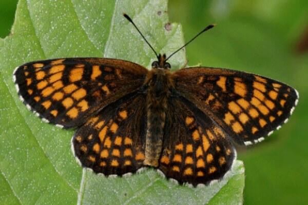 mariposa atalia descripción