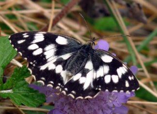 mariposa medioluto norteña descripción
