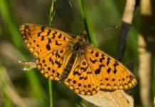 Mariposa perlada castaña características
