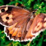 Mariposa Sátiro Común descripción