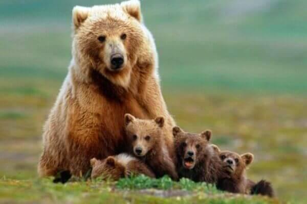 osos descripción
