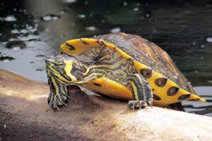 tortuga de agua tipos