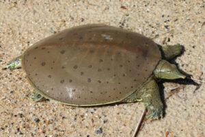 clases de tortugas de agua dulce