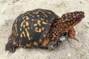 tortugas terrestres especies