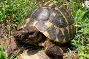 tortugas de tierra tipos