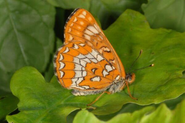 cómo es la mariposa Doncella del Aligustre