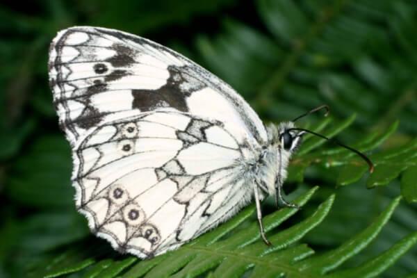 cómo es la mariposa medioluto norteña