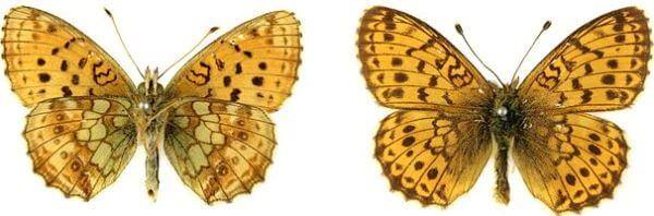 Mariposa Laurel menor características