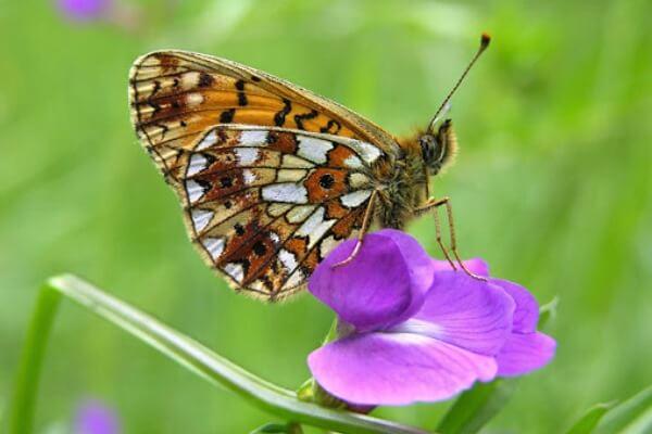 cómo es la mariposa Perlada Castaña