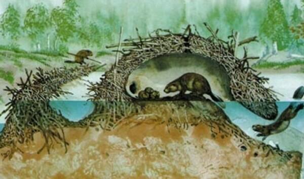 cómo es la madriguera del castor