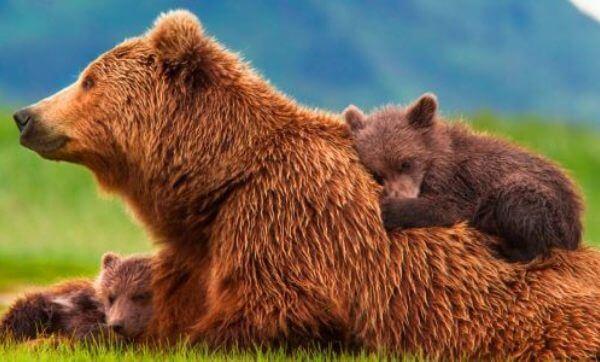 dónde vive el oso