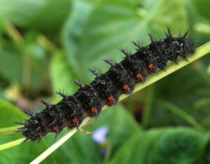 reproducción Mesoacidalia aglaja
