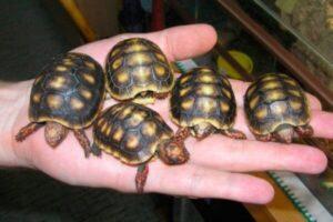 qué clases de tortugas terrestres existen