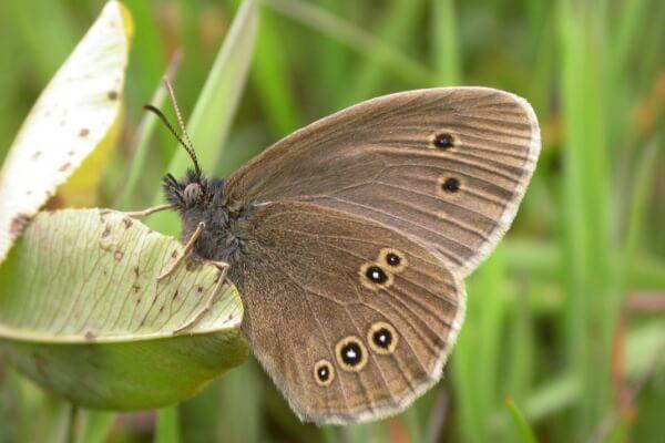 mariposa sortijitas tamaño