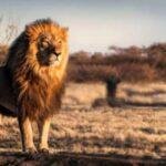 comportamiento leones