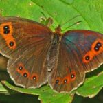Mariposa Erebia Clara de Esper descripción