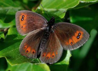 Mariposa Erebia de Montaña descripción