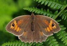 mariposa loba características