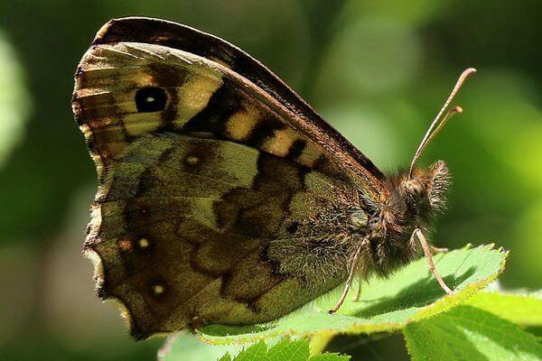 Mariposa maculada tamaño y colores