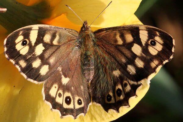 Mariposa Maculada descripción