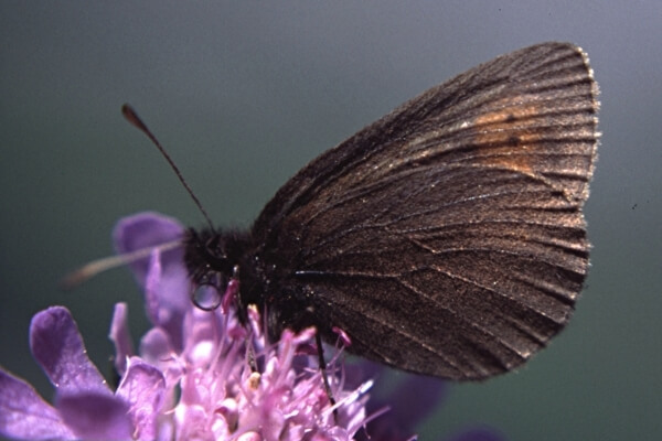 mariposa Montañesa ojitos