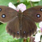 Mariposa Ocelos Azules descripción