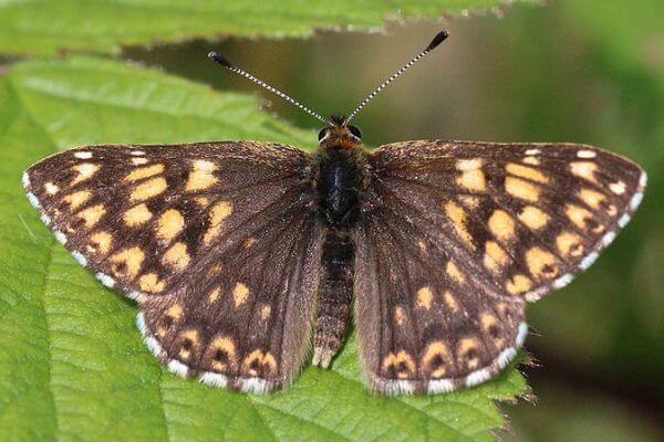 mariposa perico características