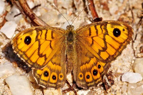 mariposa saltacercas descripción