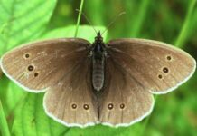 mariposa sortijitas descripción