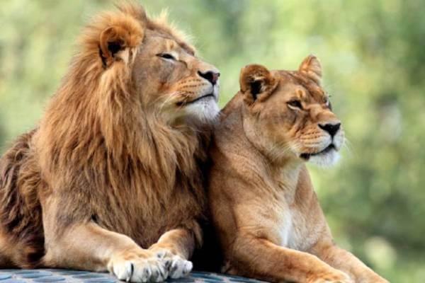león anatomía