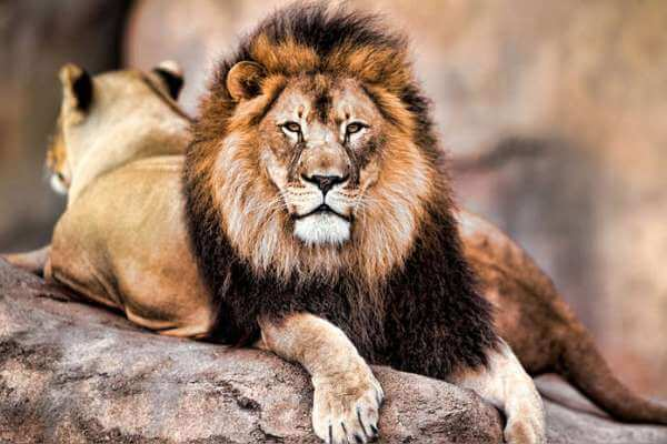cómo es el león