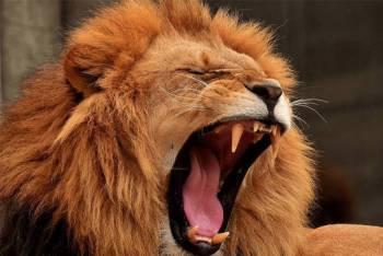 cómo atacan los leones